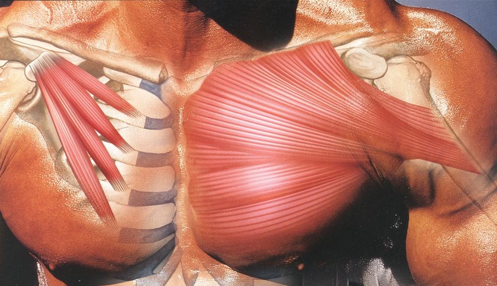 грудные мушцы