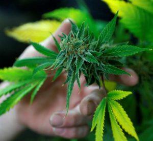 Что выводит марихуану из организма